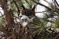 Momma and Baby (jphillipobrien2006) Tags: newjersey nest oceancounty greathornedowl owlet wildnewjersey