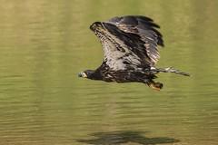 BALD EAGLE - JUVENILE (nsxbirder) Tags: baldeagle indiana juvenile haliaeetusleucocephalus brookville whitewaterriver leveerdbrookville
