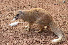 IS7DII_23173 (Ian Slingsby) Tags: mongoose yorkshirewildlifepark