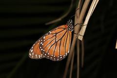 Danaus gilippus (Queen) - Costa Rica (Nick Dean1) Tags: butterfly insect costarica queen lepidoptera liberia arthropoda arthropod insecta danausgilippus danainae danaidae