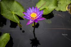 LOTUS (pathikdebmallik) Tags: lotus pond blossom beauty flower water droplets shadow stem ngc