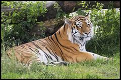 Amur Tiger (KRIV Photos) Tags: amurtiger siberiantiger tiger uk yorkshirewildlifepark animal