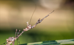 The Hustle (kathybaca) Tags: animal animals insect insects mantis violin violinnmantis nature bug bugs praying predator invertabrate world earth planet bokeh tiny macro