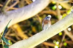 Beautiful Bird in My Backyard (melted_moon) Tags: bird branch nature cute blue tree wild outdoors rustic naturallight wildbird greentree natureoutside backyardnature backyardphoto california californiabird birdwatching