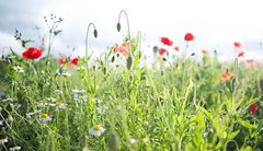 Summer Flowers (dilys_thompson) Tags: summer flower flowers poppies red meadow wild wildflowers