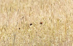 Butterflies (Jess Roberts7) Tags: butterfly hay grass meadow summer field brown