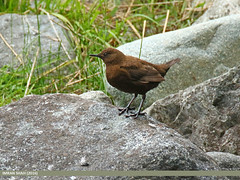 Brown Dipper (Cinclus pallasii) (gilgit2) Tags: pakistan birds fauna canon geotagged wings wildlife feathers tags location species tamron category avifauna gilgit naltar cincluspallasii gilgitbaltistan imranshah canoneos7dmarkii tamronsp150600mmf563divcusd browndippercincluspallasii gilgit2