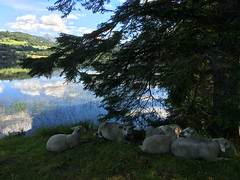 Slapper av -|- Relaxing sheep (erlingsi) Tags: erlingsi iphone sheep sauer sau relaxing relax volda rotevatn skygger shadow camphone kameramobil