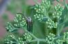 Nursery Web Spider (scilly puffin) Tags: spider arachnid 8legs sedum garden outdoor