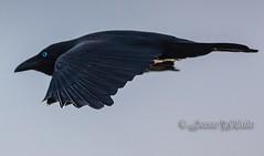Gliding Through (Jason Whittle Photography) Tags: birdcrowflying crow blueeye blackbird eyrepeninsulabirds vividstriking