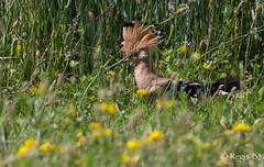 Le chef... (Régis B 31) Tags: bucérotiformes eurasianhoopoe huppefasciée upupaepops upupidés ariège bird domainedesoiseaux mazères oiseau explore