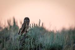 There's always something to hoot about in Jackson. (jacksonholemountainresort) Tags: sunset animals owl jacksonhole shortearedowl gtnp mormonrow summer2016
