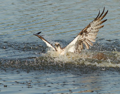 clearing the water (William Miller 21) Tags: bird nature canon florida wildlife 7d splash osprey behavioral 300f4 vierawetlands