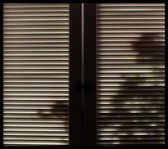 Die Rosen vor meinem Fenster (Barb120459) Tags: rosen fensterlden lichtundschatten