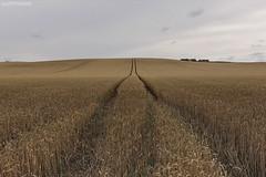 . lack of direction, not lack of time, is the problem. We all have twenty-four hour days (Ruinenstaat) Tags: tractor field corn traktor wheat feld korn ernte trekker weizen reaping ruinenstaat tumraneedi