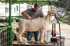 new 'do! (severalsnakes) Tags: ks2 missouri pentax saraspaedy sedalia statefair tamron287528xrdi lamb shear sheep wool