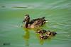 Anade real y su pollada -In Explore- 19-07-2016 (marcus turkill) Tags: animals fauna duck wildlife pato animales anade nikond3300
