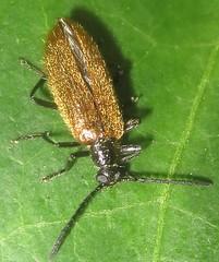 Beetle  - Lagria hirta, male (John Steedman) Tags: beetle insect london uk unitedkingdom england   greatbritain grandebretagne grossbritannien       lagriahirta