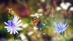 summer (augustynbatko) Tags: summer nature meadow field flower flowers butterfly insect
