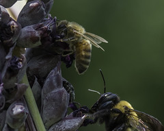 Bee_SAF1096-4 (sara97) Tags: bee copyright2016saraannefinke endangered flyinginsect insect missouri outdoors photobysaraannefinke pollinator saintlouis towergrovepark