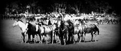 Muchas tropillas (Eduardo Amorim) Tags: cavalos caballos horses chevaux cavalli pferde caballo horse cheval cavallo pferd cavalo cavall tropilla tropilha herd tropillas tropilhas     crioulo criollo crioulos criollos cavalocrioulo cavaloscrioulos caballocriollo caballoscriollos ayacucho provinciadebuenosaires buenosairesprovince argentina sudamrica sdamerika suramrica amricadosul southamerica amriquedusud americameridionale amricadelsur americadelsud eduardoamorim gaucho gauchos gacho gachos