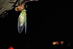 Cicada (Yeong-N) Tags: cicada korea southkorea incheon asia summer night