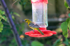 Female Hooded oriole. (Alexandra Rudge. Joyful Summer!) Tags: aves ave avesdecalifornia avesdenorteamerica avesdelsurdecalifornia avesdelosangeles birds pajaros pajarosdecalifornia pajarosdenorteamerica pajaroscalifornianos pajarossalvajesnorteanericanos fauna faunadenorteamerica faunadecalifornia faunacaliforniana faunasilvestre faunanorteamericana canon californiawildlife californiafauna californiabirds lawildlife lafauna labirds losangeleswildlife losangelesfauna losangelesbirds southerncaliforniawildlife southerncaliforniafauna southerncaliforniabirds vidasilvestre vidaanimalpajarossalvajes vidasalvaje wildlifeofcalifornia wildlife wildbirds wildanimals chordata hoodedoriole femalehoodedoriole passeriformes icteridae icterus icteruscucullatus icucullatus tree branches leaves hummungbirdfeeder