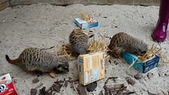 Meerkat Moment at Edinburgh Zoo (stupidgirlno1) Tags: edinburghzoo animals nature meerkatmoment keeperexperience