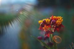 Reflets internes (Patrice StG) Tags: flare bokeh reflets macro sun soleil flower fleur jaune rouge red yellow nex3n gimp tokina28mmf28m42