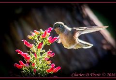 Scrophularia macrantha  / Redbirds in a Tree (ctofcsco) Tags: 11600 1div 63 800mm bokeh calliopehummingbird canon colorado coloradosprings ef400mmf28liiusm ef400mmf28liiusm20x eos1d eos1dmarkiv explore explored extender extender2x extender2xii geo:lat=3893083779 geo:lon=10489145279 geotagged gleneyrie green hummingbird magenta mark4 markiv nature northamerica supertelephoto teleconverter telephoto unitedstates usa wildlife
