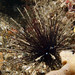 Painful cousin - Diadema urchin #marineexplorer