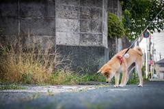 Yotsuba365 Day59 (Tetsuo41) Tags: dog shibainu yotsuba