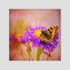 Colorful Saturday (BirgittaSjostedt) Tags: smalltortoiseshell nature outdoor petals pink plant pollen summer tropic vivid wing yellow butterfly closeup texture painted birgittasjostedt petal bright photoborder serene flower legacy magicunicornverybest
