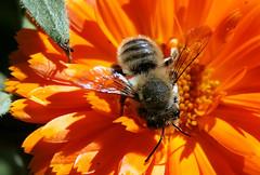 Megachilid bee on Calendula (TJ Gehling) Tags: insect hymenoptera bee leafcutterbee megachilidae megachile plant flower asterales asteraceae calendula communitygarden fairmontpark elcerrito