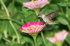Ruby-throated Hummingbird (BirdFancier01) Tags: nature flowers plant garden zinnia pink magenta bird hummingbird nectar