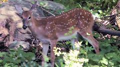 Big Fawn (blazer8696) Tags: 2016 brookfield ct connecticut ecw obtusehill t2016 usa unitedstates deer fawn img0284 odocoileus odocoileusvirginianus tailed virginianus white whitetail whitetaileddeer