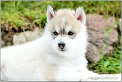 Queen of the Night Legend of the Spirit ** Quennie** (KubaJenna) Tags: siberianhusky sweet puppy impressedbeauty huskypuppies huskypuppy siberianhuskypuppy dog greywhitehusky