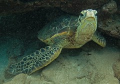hiding under the coral (bluewavechris) Tags: maui hawaii makena ocean water sea marine animal creature life reptile turtle shell flipper scales brown green nature wildlife underwater coral reef