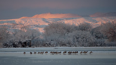 Sandhill Cranes (tamra hays) Tags: snow newmexico birds bosquedelapache