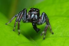 Jumper Eating... Err... Something (Doundounba) Tags: macro mexico spider pentax mexique rivieramaya jumpingspider araigne k3 272e frigga salticidae dcr250 raynox salticide grandsirenis mayanbeach tamronspdi90mmf28 friggapratensis 35ormorefaves