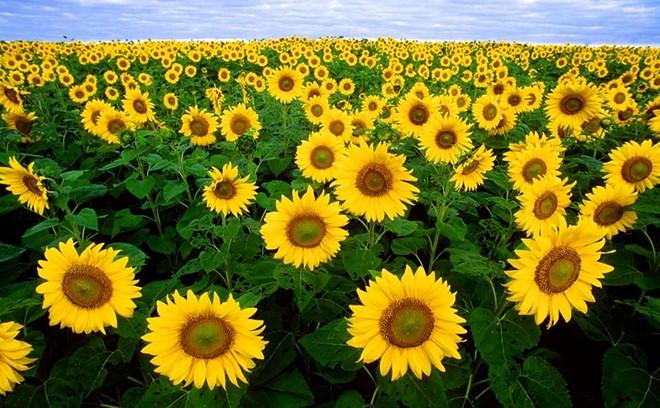 vẻ đẹp lung linh của những bông hoa mặt trời