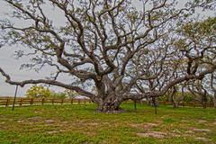 The Goose Island Oak (Stephen J Pollard (Loud Music Lover of Nature)) Tags: tree oak rbol roble gooseislandoak