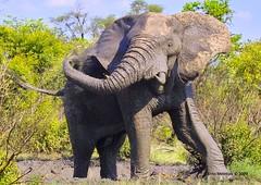 IMG09421A4 (Arno Meintjes Wildlife) Tags: africa elephant nature animal southafrica wildlife safari krugerpark africanelephant loxodontaafricana africanbushelephant arnomeintjes