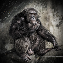 Friend (Manjik.photography) Tags: africa old wild portrait black cute nature smile face animal animals forest fun mammal zoo monkey looking chimp head expression african no background wildlife young evil jungle ape species pan chimpanzee endangered primate isolated hear intelligent