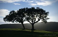 Quercus ilex rotundifolia (Vitor Estrela Santos) Tags: backlight contraluz redondo alentejo nwn silhueta bolota beautifulnature azinheira fagaceae borba beautifulworld quercusilexrotundifolia vitormes serradeossa
