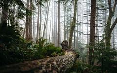 Into The Forest (John Westrock) Tags: forest depthoffield nature fog foggy trees pacificnorthwest canoneos5dmarkiii sigma35mmf14dghsmart pwlandscape washington johnwestrock
