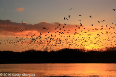 The day is full of birds... (Sandy Sharples) Tags: christmas morning winter sky sun reflection nature water birds clouds sunrise december gulls can