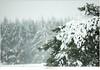 Sneeuwbui op de Stippelberg (NH020529) (nandOOnline) Tags: winter bomen sneeuw nederland natuur boom landschap sneeuwvlokken rips sneeuwbui nbrabant stippelberg