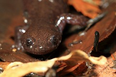 Hynobius takedai (kenta_sawada6469) Tags: nature female wildlife amphibian salamander amphibians amphibia herptile herping herptiles hynobiidae