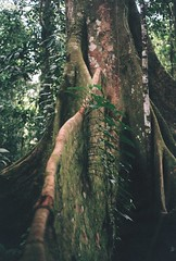 Ceiba tree (Grace Gockel) Tags: travel film station analog america canon ecuador amazon rainforest ae1 south selva study abroad oriente biodiversity usfq tiputini